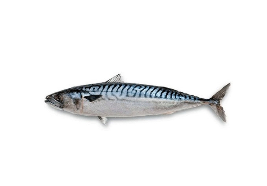 Verat | Caballa | Atlantic mackerel | Scomber scombrus Linnaeus