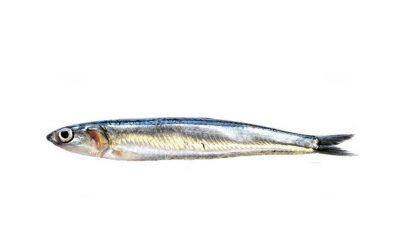 Seitó | Boquerón | European anchovy | Engraulis encrasicolus