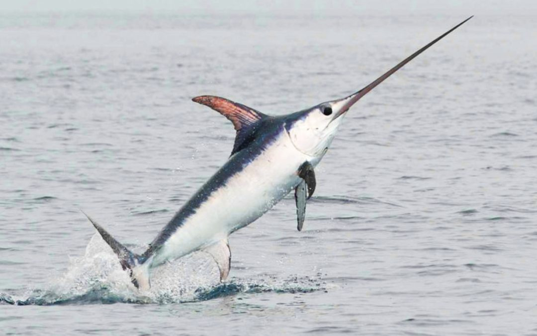 El peix espasa de Vilanova i la Geltrú
