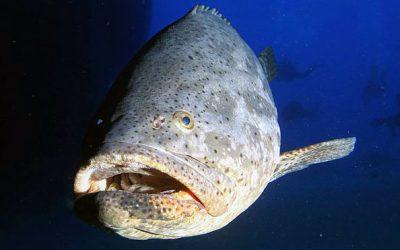 Mero | Mero | Dusky grouper | Epinephelus marginatus