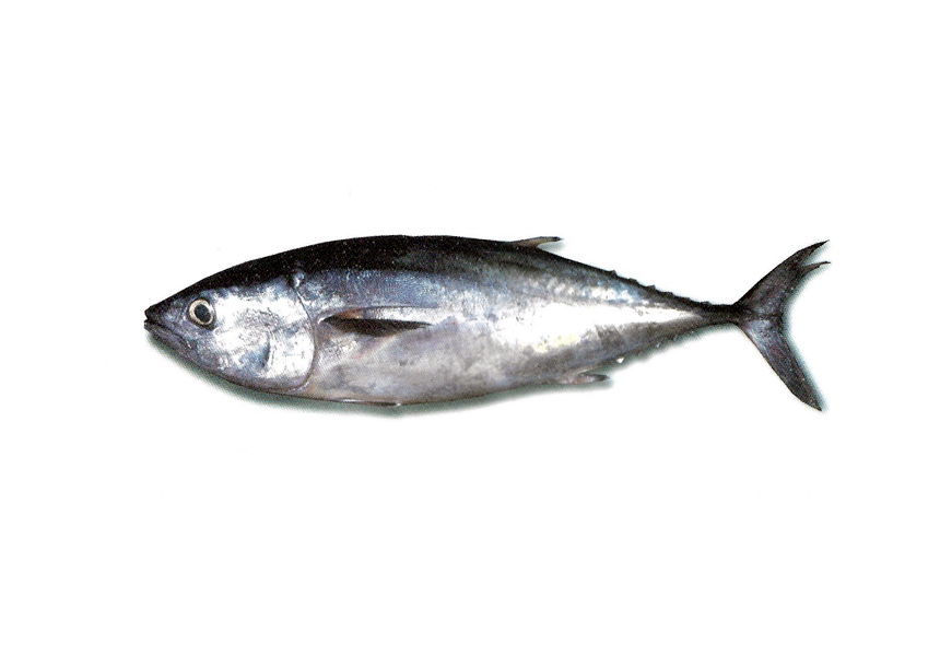 Tonyina | Atún | Northern bluefin tuna | Thunnus thynnus thynnus